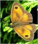 Title: Maniola Jurtina (Meadow Brown)